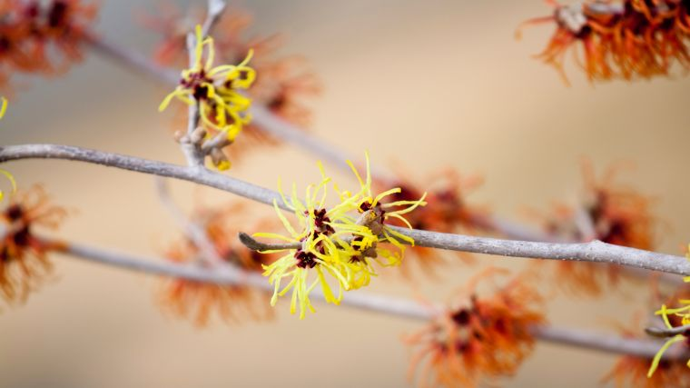 Heilpflanzen gegen Hämorrhoidenleiden